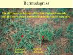 bermudagrass35