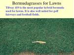 bermudagrasses for lawns