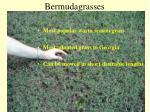 bermudagrasses