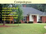 centipedegrass52