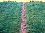 fine fescue tall fescue
