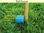 tall fescue16