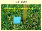 tall fescue18