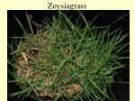 zoysiagrass46