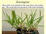 zoysiagrass47