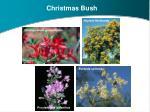 christmas bush