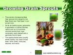 growing grain sprouts