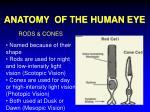 anatomy of the human eye11