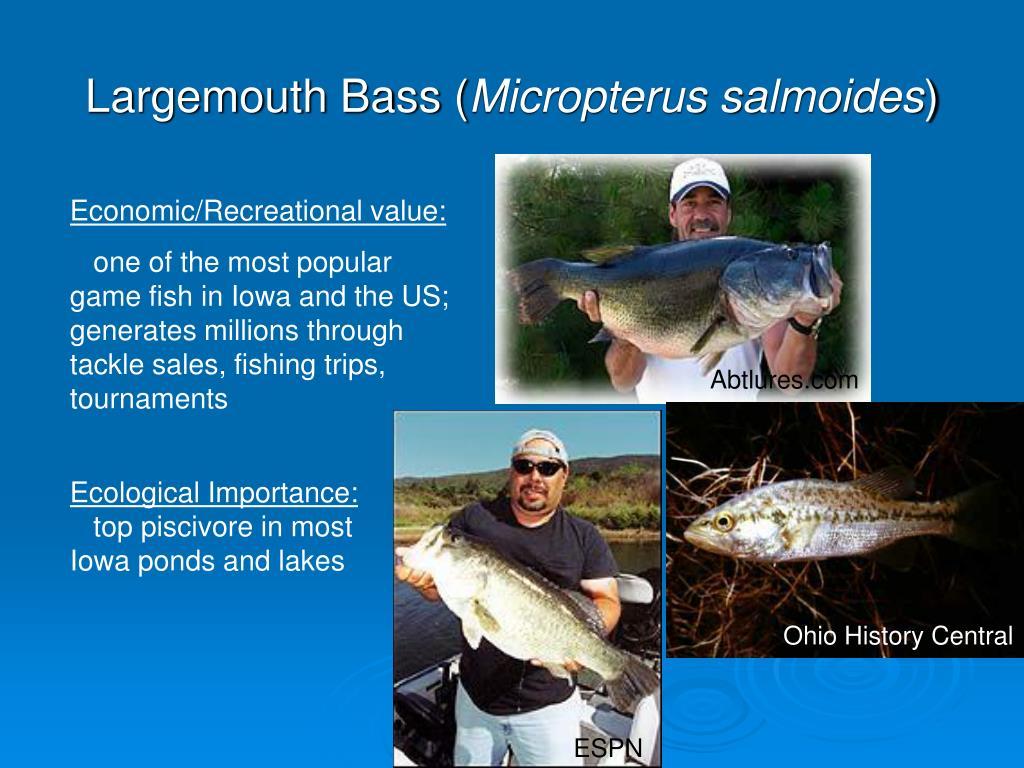 Largemouth Bass (