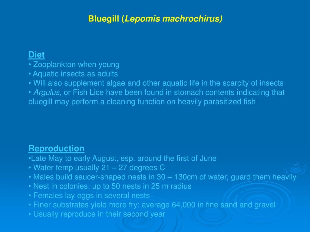 Bluegill (
