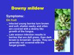 downy mildew1