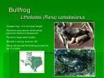 bullfrog16