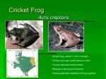 cricket frog11