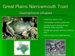 great plains narrowmouth toad34
