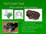 gulf coast toad31