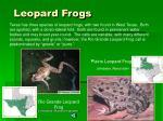 leopard frogs41
