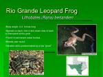 rio grande leopard frog35