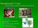 woodhouse s toad