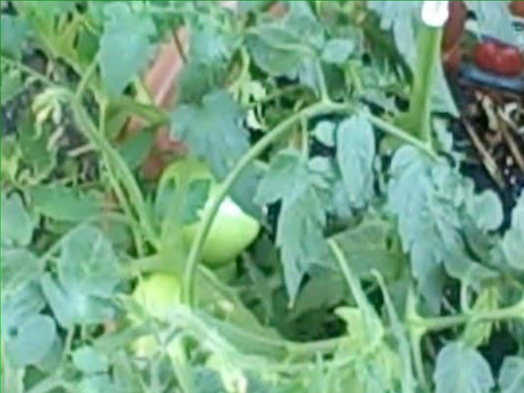 Cordia Pugh gardens in her backyard and encourages others in Englewood to garden