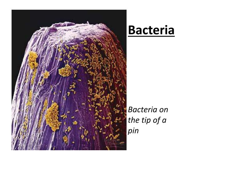 bacteria bacteria on the tip of a pin n.