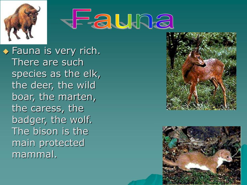 Fauna is very rich. There are such species as the elk, the deer, the wild boar, the marten, the caress, the badger, the wolf. The bison is the main protected mammal.
