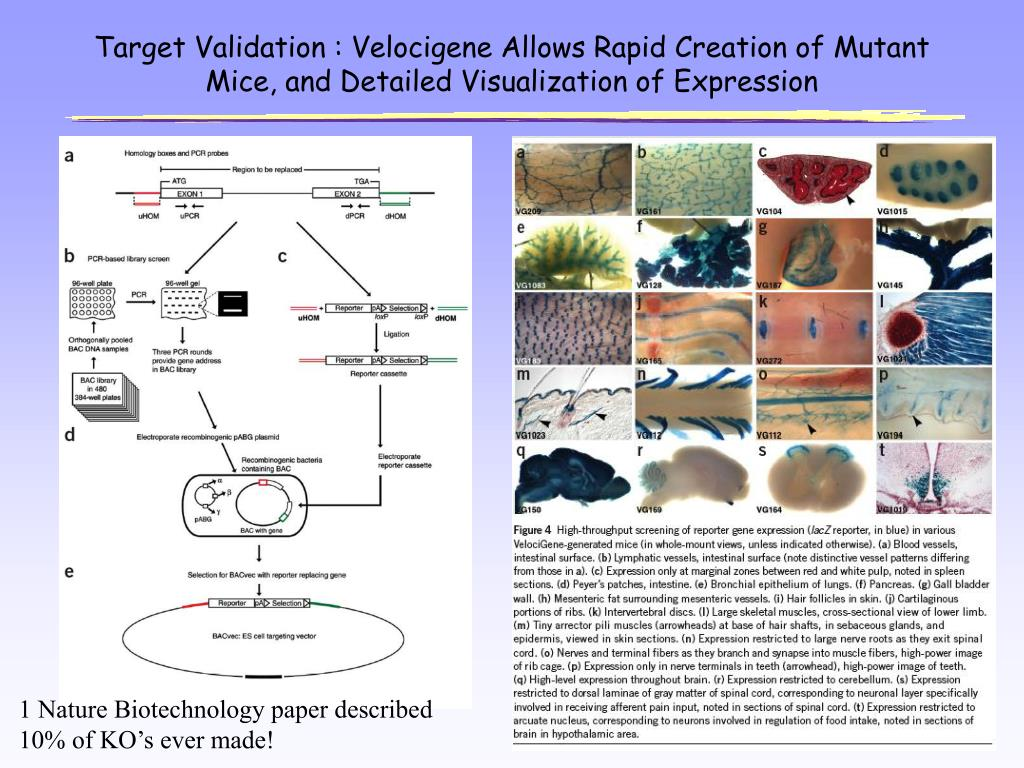 Target Validation : Velocigene Allows Rapid Creation of Mutant Mice, and Detailed Visualization of Expression
