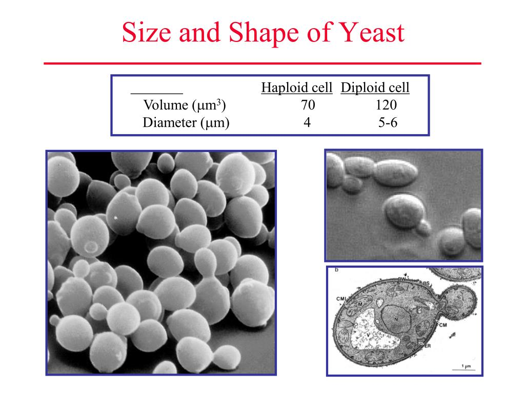 Size and Shape of Yeast