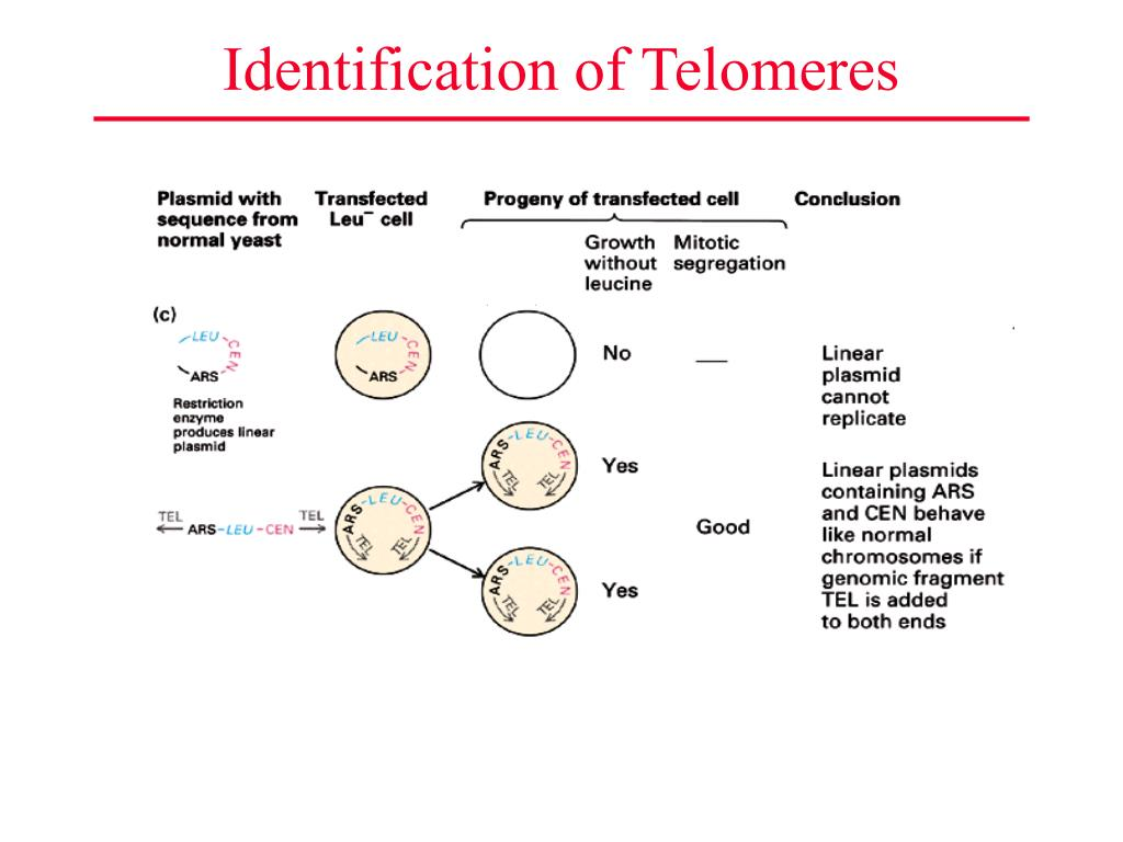 Identification of Telomeres