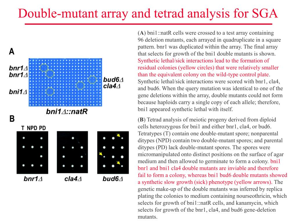 Double-mutant array and tetrad analysis for SGA