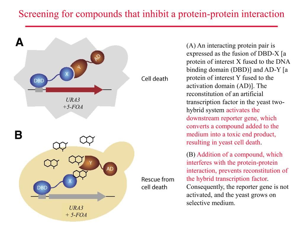 Screening for compounds that inhibit a protein-protein interaction