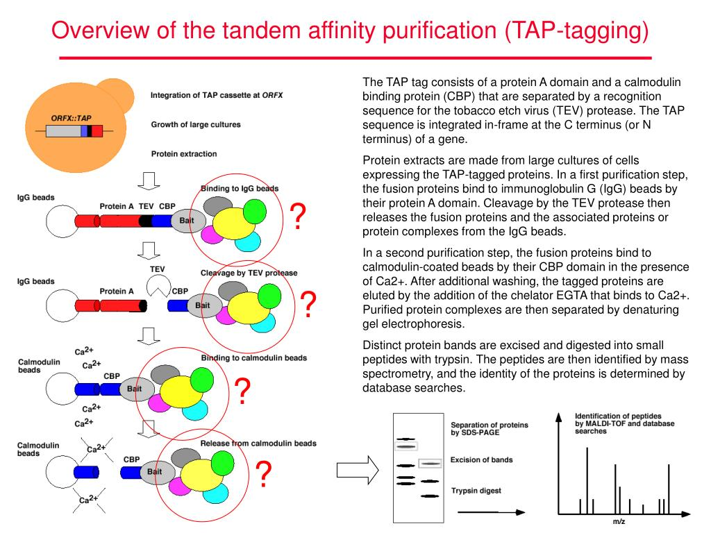 Overview of the tandem affinity purification (TAP-tagging)