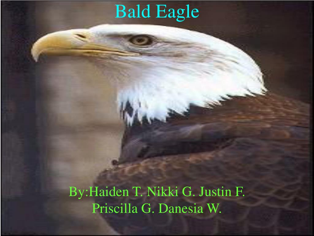 bald eagle l.