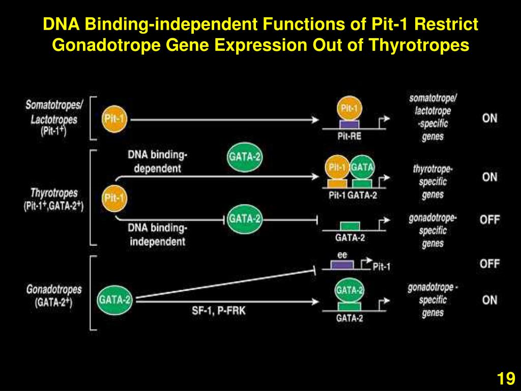 DNA Binding-independent Functions of Pit-1 Restrict Gonadotrope Gene Expression Out of Thyrotropes