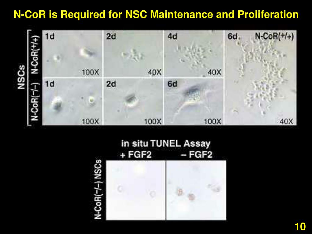 N-CoR is Required for NSC Maintenance and Proliferation