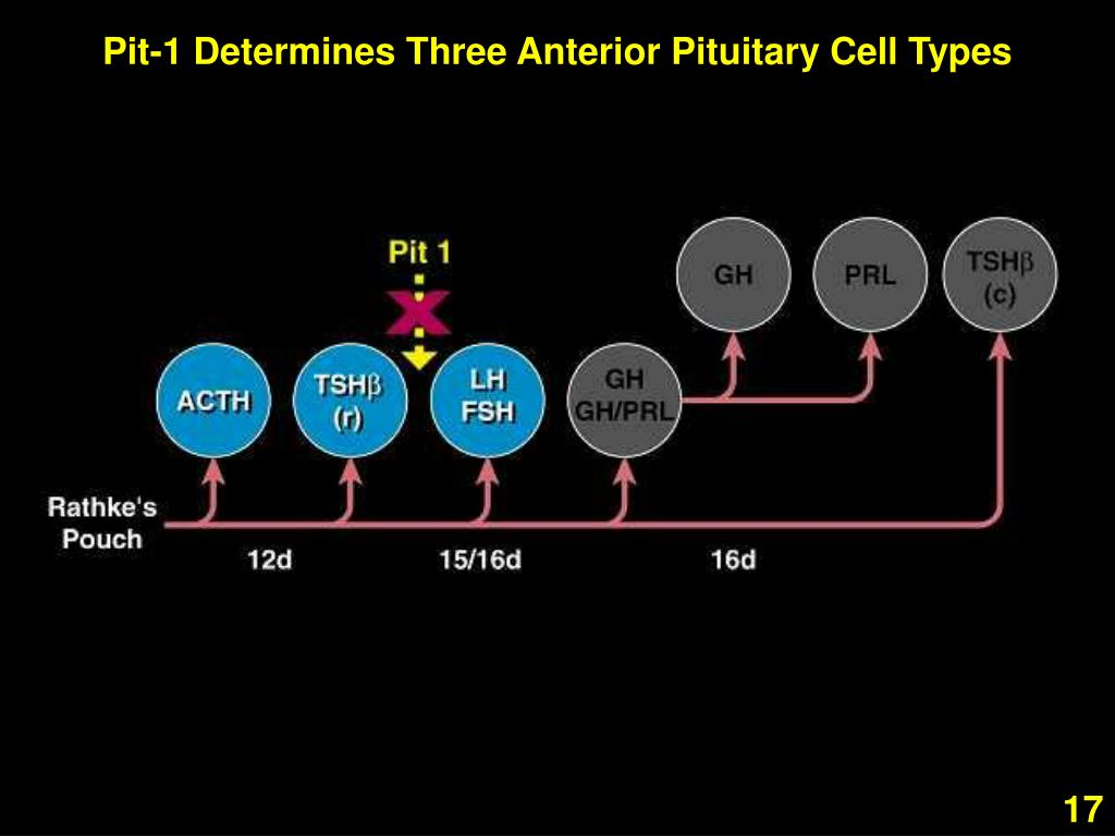 Pit-1 Determines Three Anterior Pituitary Cell Types