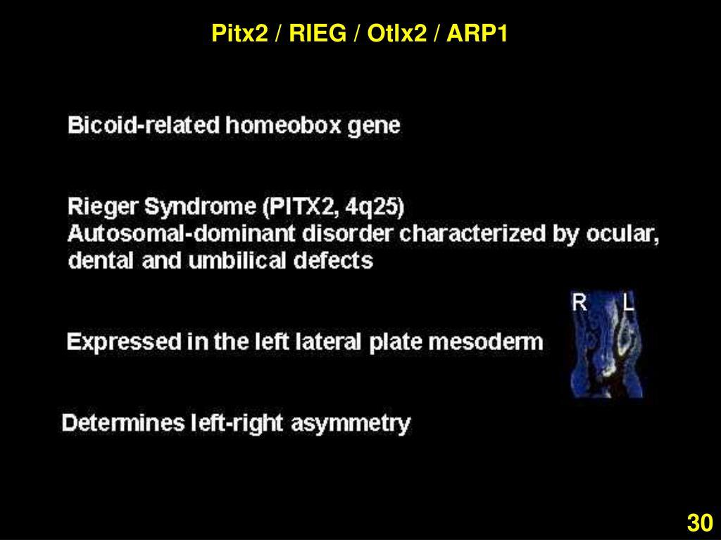 Pitx2 / RIEG / Otlx2 / ARP1