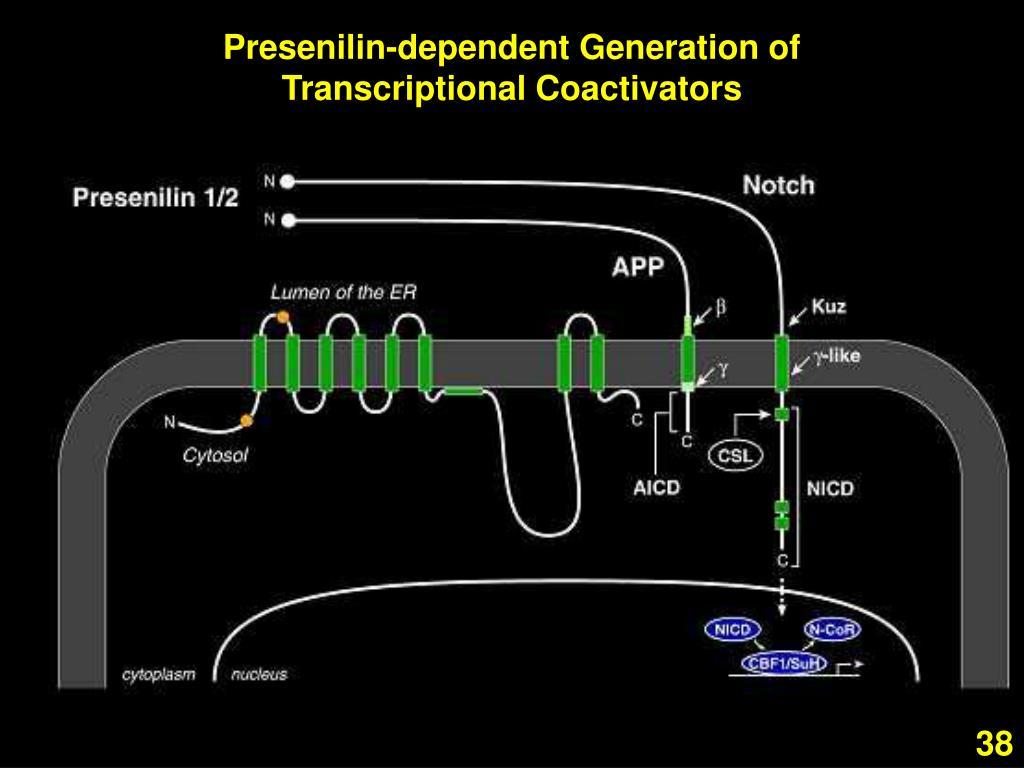 Presenilin-dependent Generation of