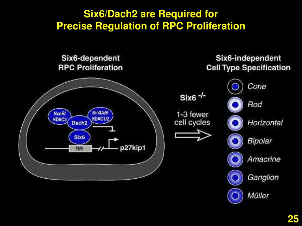 Six6/Dach2 are Required for