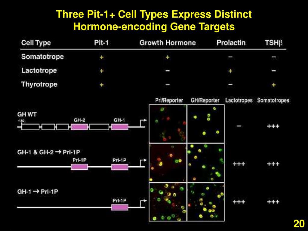 Three Pit-1+ Cell Types Express Distinct