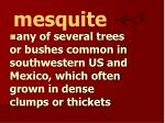 mesquite