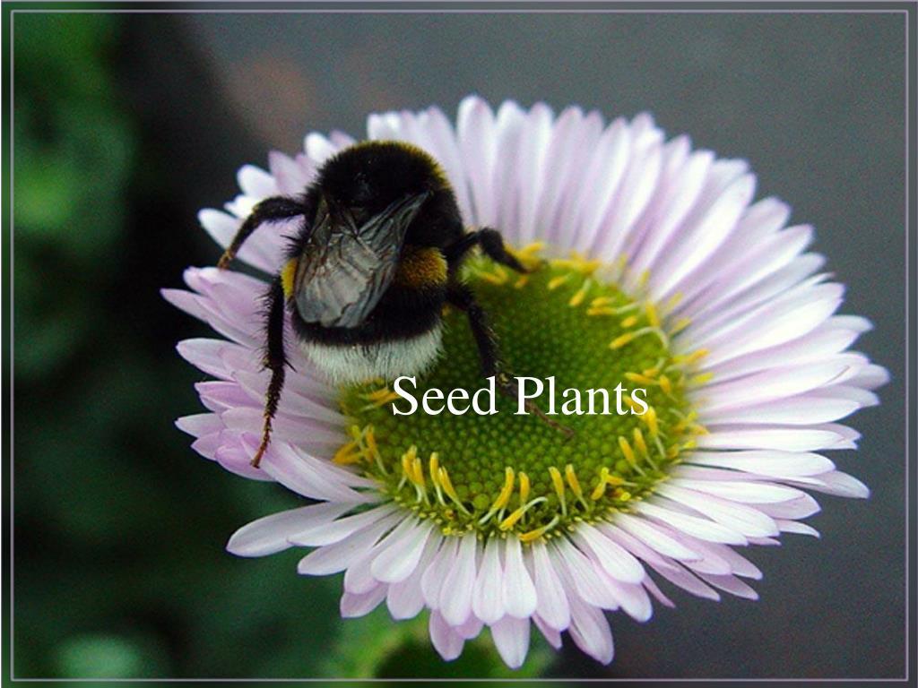 seed plants l.