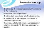 brevundimonas spp
