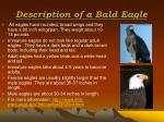 description of a bald eagle