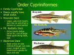 order cypriniformes15