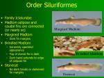 order siluriformes11