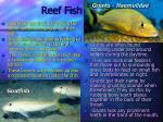 reef fish18