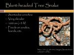 blunt headed tree snake
