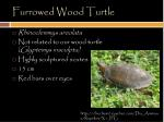 furrowed wood turtle