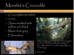 morelet s crocodile