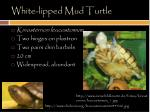 white lipped mud turtle